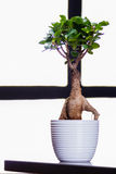 Bonsai Tree on a office table Royalty Free Stock Photography
