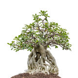 Bonsai Tree On White Stock Photos