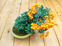 Bonsai tree with orange berries in pot (Pyracantha) Royalty Free Stock Photo