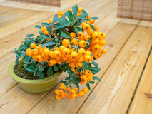Bonsai tree with orange berries in pot (Pyracantha) Royalty Free Stock Images