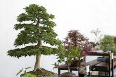 Bonsai tree outdoor exhibition Stock Image