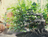 Bonsai tree outdoors Royalty Free Stock Photo