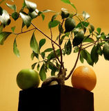 Bonsai tree over round fruits at square flower pot Royalty Free Stock Image