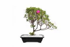Bonsai tree royalty free stock photos