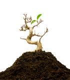 Bonsai tree on a pile of ground Royalty Free Stock Images