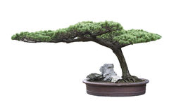 Bonsai tree pine Stock Photos