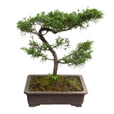 Bonsai tree of pine Royalty Free Stock Photos