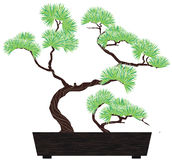 Bonsai tree pine Stock Image