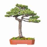 Bonsai tree of pine Royalty Free Stock Image