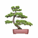 Bonsai tree of pine Royalty Free Stock Photo