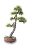 Bonsai tree - pine Stock Photos