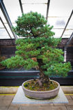 Bonsai tree pinus parviflora - Kokonoe Stock Photography