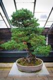 Bonsai tree pinus parviflora - Kokonoe Stock Photography