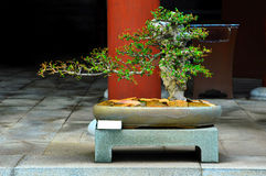 Bonsai tree in the pot Stock Images