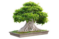 Bonsai tree in a pot. Isolated on white background Stock Image
