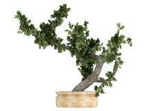 Bonsai tree in a pot Stock Photos