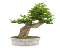 Bonsai tree in a pot Royalty Free Stock Photography