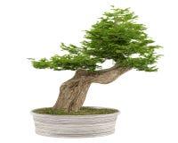 Bonsai tree in a pot Royalty Free Stock Photography