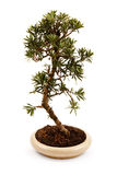 Bonsai tree in a pot Stock Photo