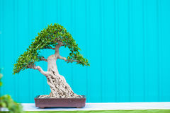 Bonsai tree. In a pot Royalty Free Stock Images