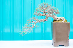 Bonsai tree. In a pot Stock Photography