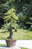 Bonsai tree in a pot. In BaiHuaTan public park, Chengdu, China Stock Images