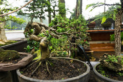 Bonsai tree in a pot made from clay sell at plant seller photo taken in Jakarta Indonesia Royalty Free Stock Image