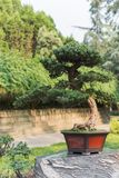Bonsai tree in a pot on a rock. China Royalty Free Stock Images