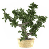Bonsai tree in the pot Stock Image