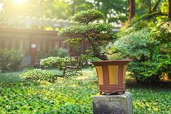 Bonsai tree in a pot on a stone table in sunlight stock photography