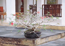 Bonsai tree in a pot on the table Royalty Free Stock Images