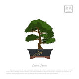 Bonsai tree in pot on white background. royalty free illustration