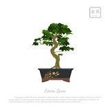 Bonsai tree in pot on white background Royalty Free Stock Images