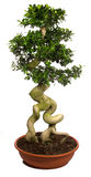 Bonsai tree potted plants. Isolated on white background Royalty Free Stock Photography