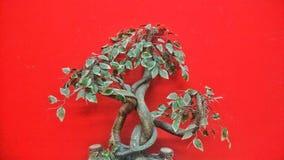 Bonsai tree. `Bonsai tree on red background Stock Images