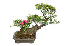 Bonsai tree and rhododendron Royalty Free Stock Images