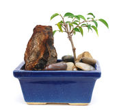A bonsai tree with rocks. A young bonsai tree with rocks with isolated white Royalty Free Stock Photo