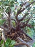 Bonsai tree roots photo royalty free stock photos