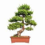 Bonsai tree of shimpaku juniper Stock Image