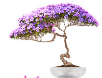 Bonsai tree side view Royalty Free Stock Photography