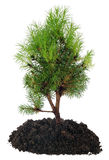 Bonsai Tree and soil on white Royalty Free Stock Image