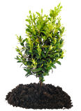 Bonsai Tree and soil on white Stock Image