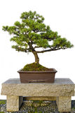 Bonsai Tree on Stone Bench in Chinese Garden Royalty Free Stock Photo