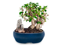 Bonsai tree and stone in blue pot  Royalty Free Stock Images