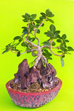 Bonsai tree on stone with green background Stock Photography