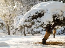 Bonsai tree in Tokyo park covered in snow. stock image