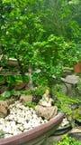Bonsai Tree in tray Stock Photos
