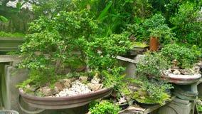 Bonsai Tree in tray Stock Image