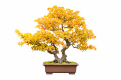 Bonsai tree of trident maple in autumn Royalty Free Stock Images