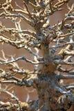 Bonsai. Tree trunk. Royalty Free Stock Photography